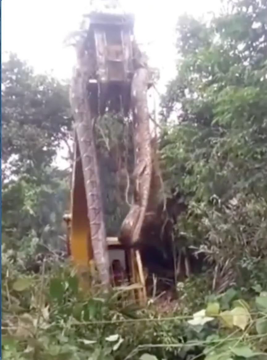 Ular Sawa Gergasi Dipercayai Sepanjang 10 Meter Ditemui Dalam Hutan - arenagempak.com
