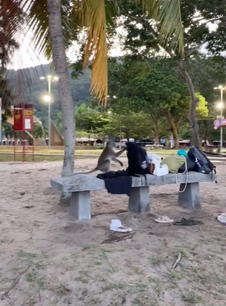 Dari 'Picnik' Ke Panik, Monyet Larikan Beg Tangan Gadis Ketika Berkelah, Siap Buang Duit Dari Pokok Tinggi